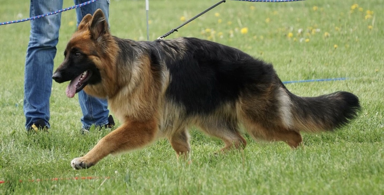 HausBeck Long Hair German Shepherd