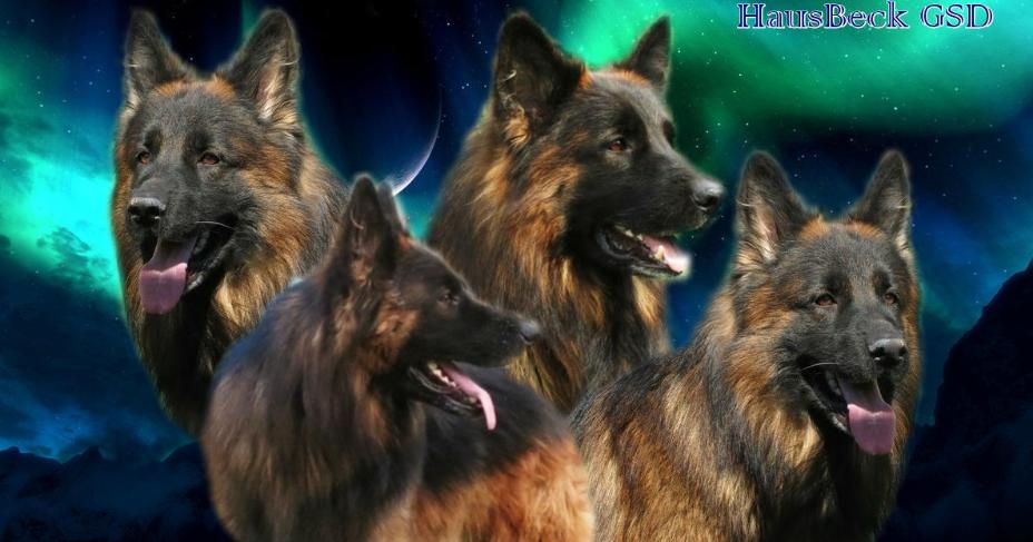 German Shepherd Puppies For Sale Vom Dortmunder German